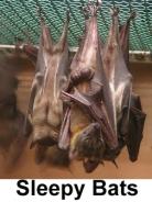 sleepy bats.jpg
