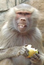 Monkey eating.JPG